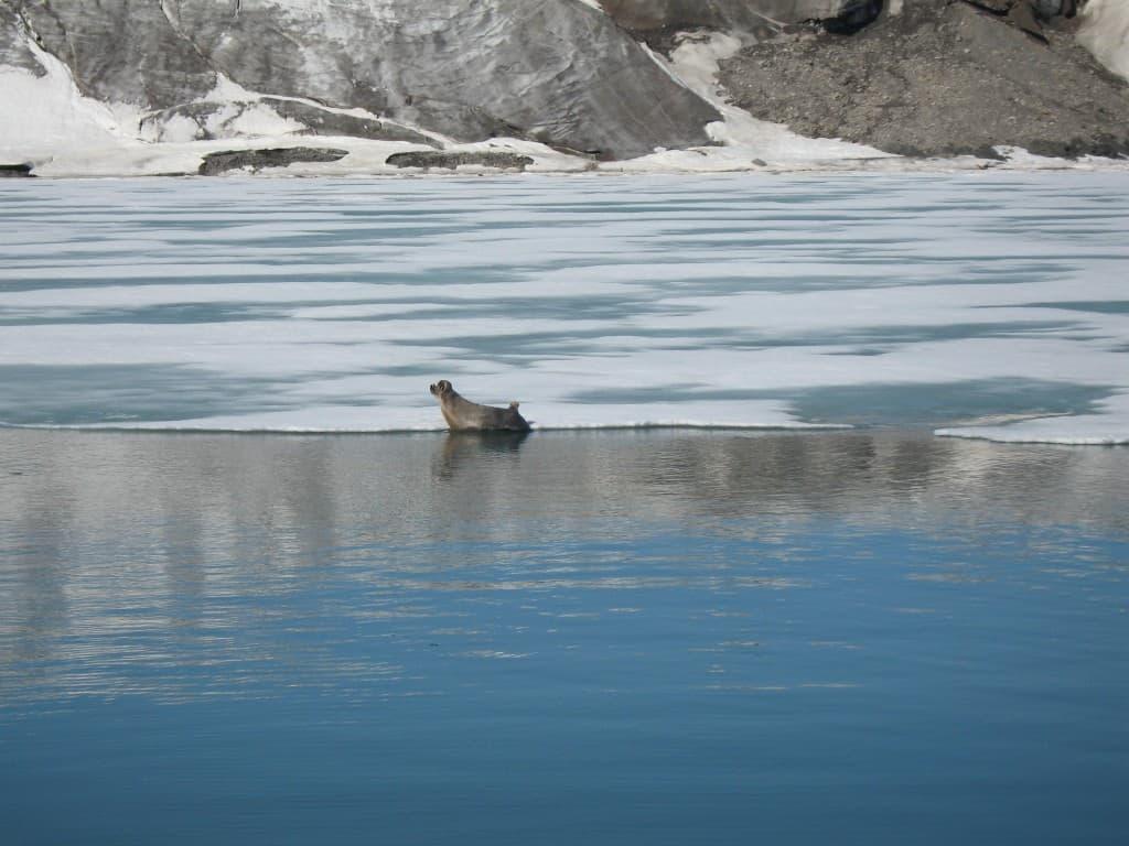 Svalbard seal