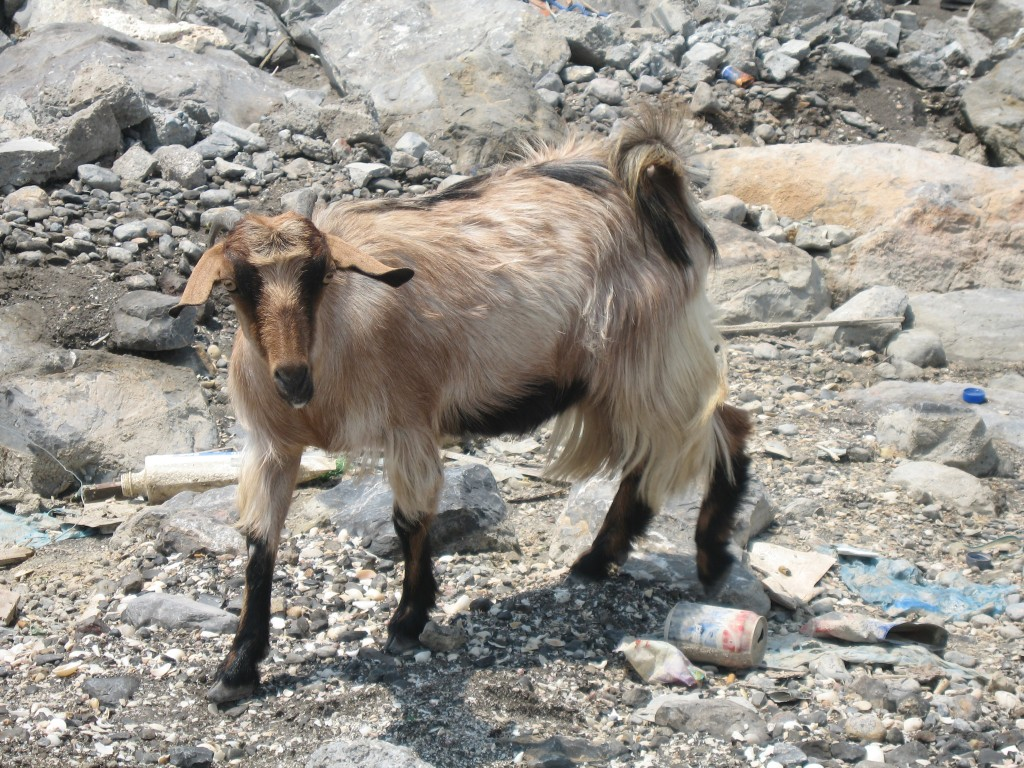 Photo of Omani goat roaming the streets of Khasab in the noonday sun