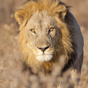 rsz_lion_male_cfc_2230