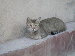 Kuwaiti cat