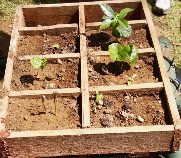Espiritu Santo Coffee Plantation, Naranjo, Costa Rica - coffee seedlings