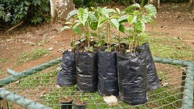 Espiritu Santo Coffee Plantation, Naranjo, Costa Rica - coffee trees