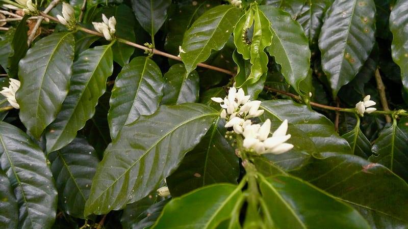 Espiritu Santo Coffee Plantation, Naranjo, Costa Rica - coffee flowers