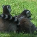 Lemurs at Newquay Zoo, Cornwall
