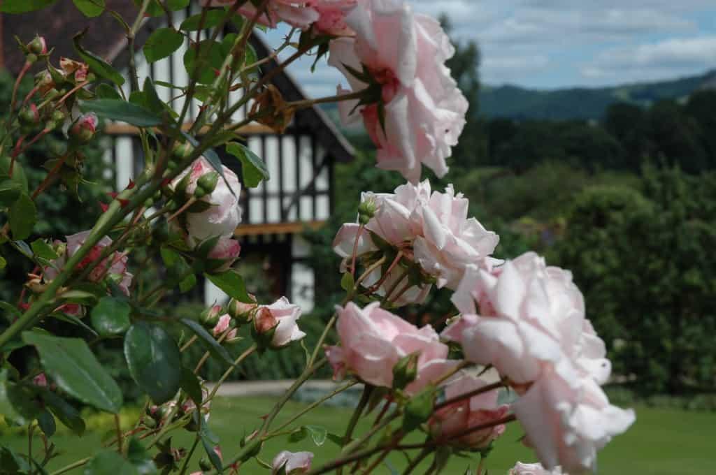Edwardian cottage hidden behind pale pink roses at Powis Castle, Wales