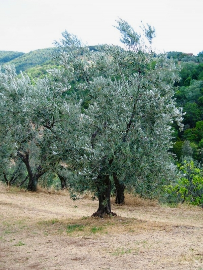Olive tree in Leonardo's garden. Anchiano, Tuscany.