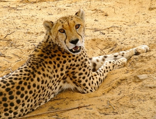 Cheetahs and other rescue animals at Inverdoorn