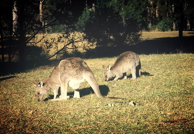 Kangaroos, Blue Mountains, NSW, Australia