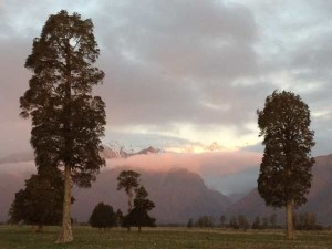 Kahikatea-trees-at-sunset-with-Southern-Alps-in-background-West-Coast-Sth-Island-NZ