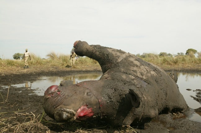 Rhino-horn-removed-Beverly-Joubert