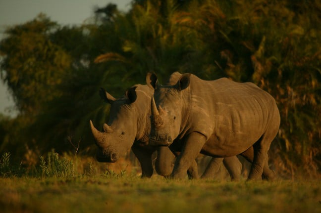 Two_white_rhino_BJoubert_Botswanajpg
