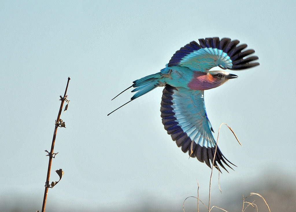 Geoff Whittle safari photography tips - lilac breasted roller